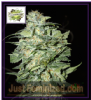 Cream of the Crop Auto Crop Circle Fem 10 Seeds
